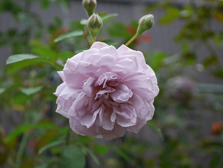 レイニーブルー(Rainy Blue)の2番花がまた咲きだした。ツルバラ。2020年-019.jpg