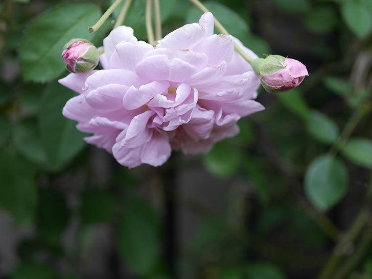 レイニーブルー(Rainy Blue)の2番花がまた咲きだした。ツルバラ。2020年-020.jpg