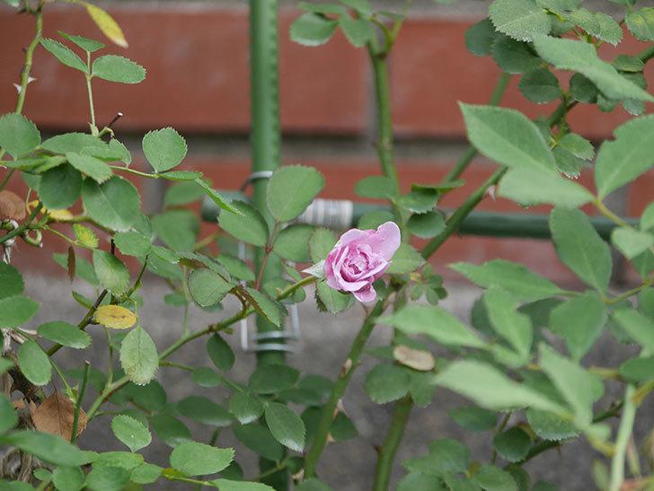 レイニーブルー(Rainy Blue)の2番花が咲いた。ツルバラ。2020年-001.jpg
