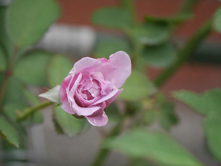 レイニーブルー(Rainy Blue)の2番花が咲いた。ツルバラ。2020年-002.jpg