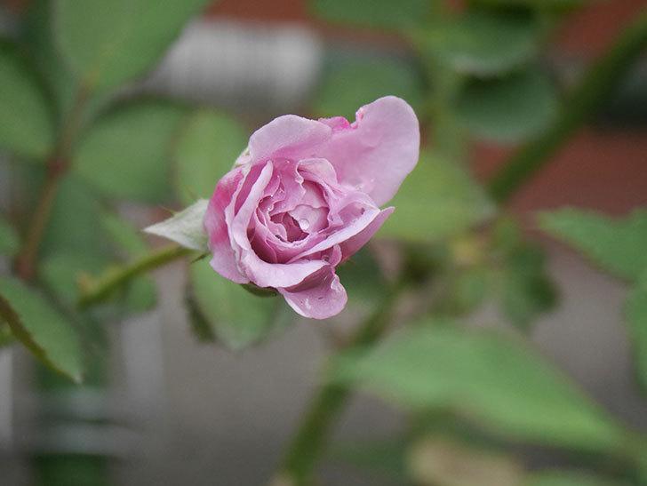 レイニーブルー(Rainy Blue)の2番花が咲いた。ツルバラ。2020年-003.jpg