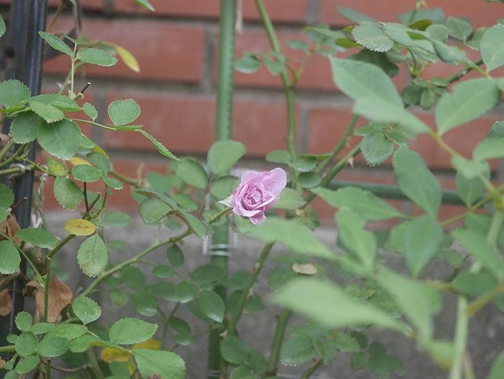レイニーブルー(Rainy Blue)の2番花が咲いた。ツルバラ。2020年-004.jpg