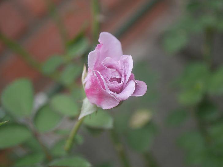 レイニーブルー(Rainy Blue)の2番花が咲いた。ツルバラ。2020年-005.jpg