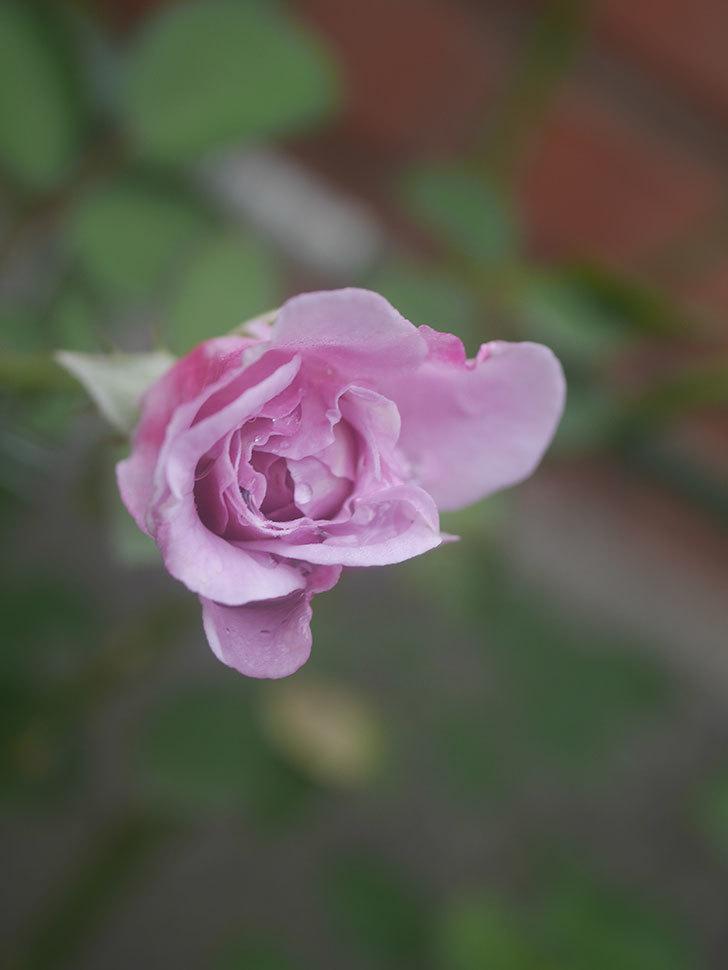 レイニーブルー(Rainy Blue)の2番花が咲いた。ツルバラ。2020年-006.jpg
