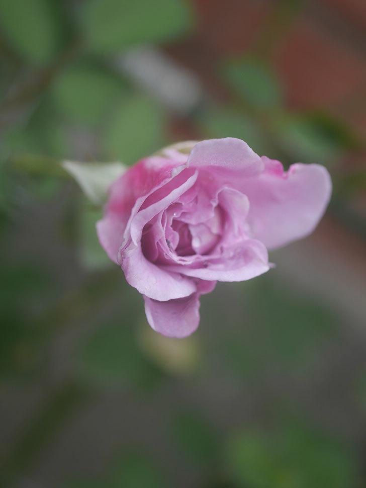 レイニーブルー(Rainy Blue)の2番花が咲いた。ツルバラ。2020年-007.jpg