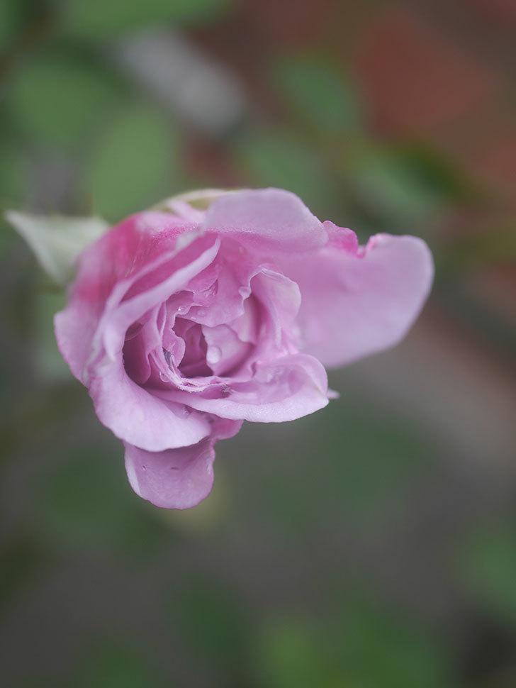 レイニーブルー(Rainy Blue)の2番花が咲いた。ツルバラ。2020年-008.jpg