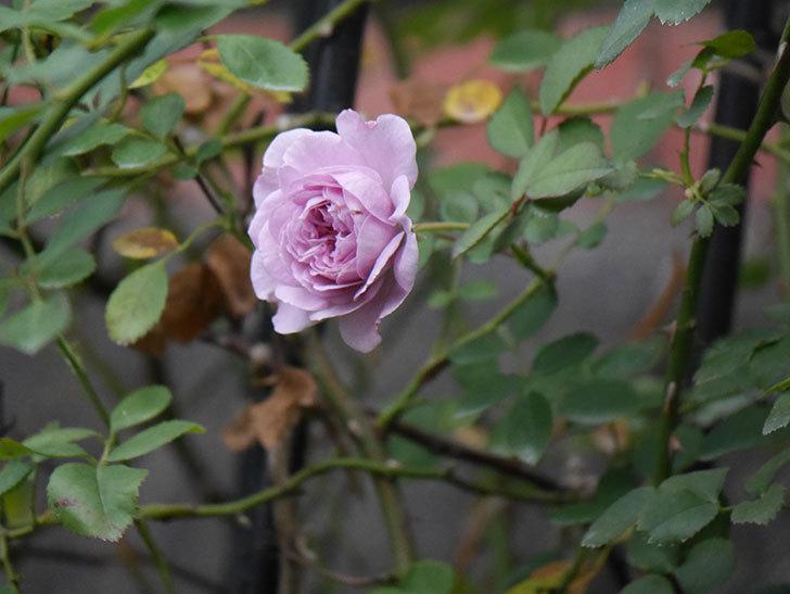 レイニーブルー(Rainy Blue)の2番花が咲いた。ツルバラ。2020年-009.jpg