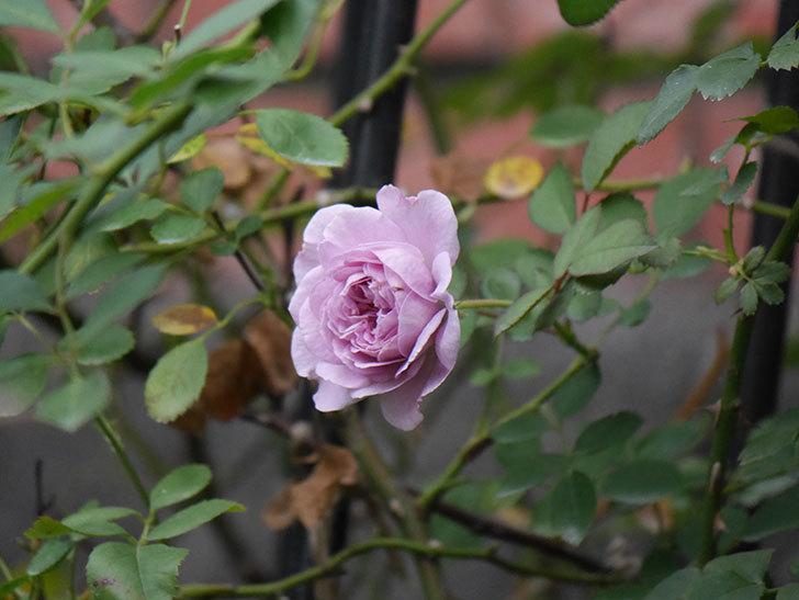 レイニーブルー(Rainy Blue)の2番花が咲いた。ツルバラ。2020年-010.jpg