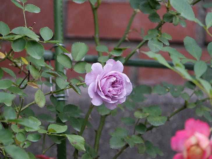 レイニーブルー(Rainy Blue)の2番花が咲いた。ツルバラ。2020年-011.jpg