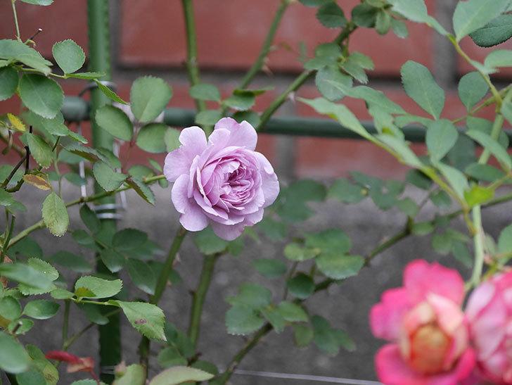 レイニーブルー(Rainy Blue)の2番花が咲いた。ツルバラ。2020年-012.jpg
