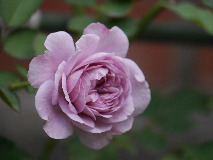 レイニーブルー(Rainy Blue)の2番花が咲いた。ツルバラ。2020年-013.jpg