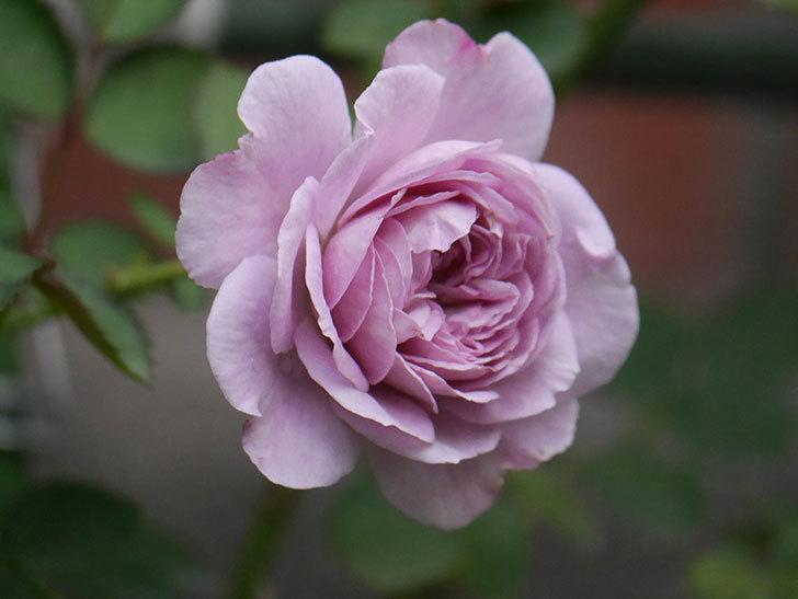レイニーブルー(Rainy Blue)の2番花が咲いた。ツルバラ。2020年-014.jpg