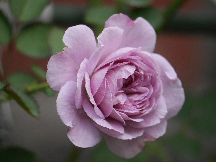 レイニーブルー(Rainy Blue)の2番花が咲いた。ツルバラ。2020年-015.jpg