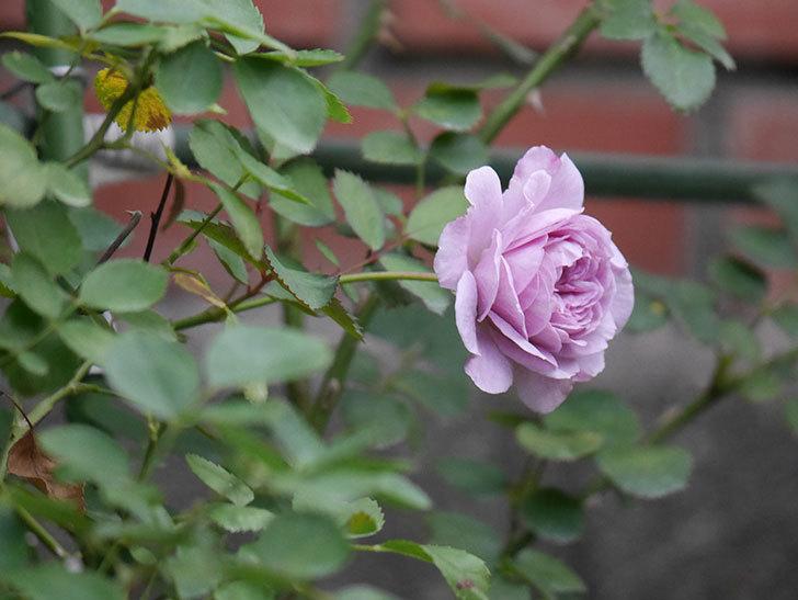 レイニーブルー(Rainy Blue)の2番花が咲いた。ツルバラ。2020年-016.jpg