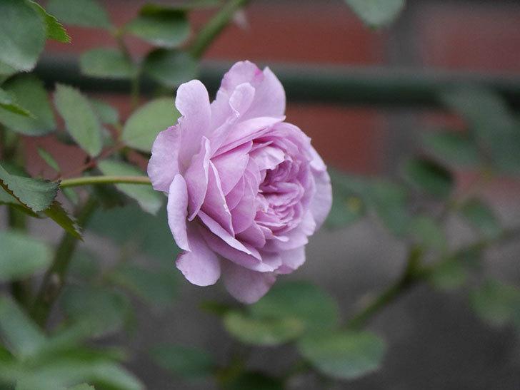 レイニーブルー(Rainy Blue)の2番花が咲いた。ツルバラ。2020年-017.jpg