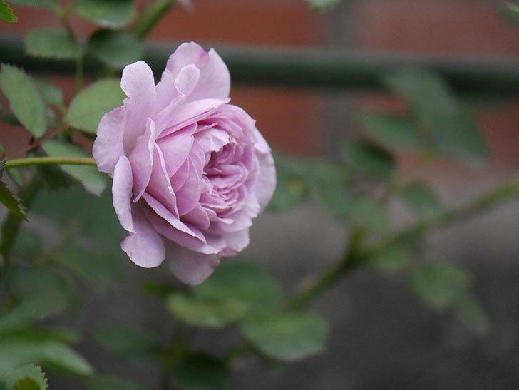 レイニーブルー(Rainy Blue)の2番花が咲いた。ツルバラ。2020年-018.jpg