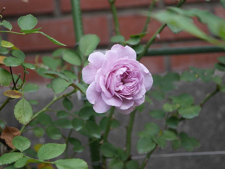 レイニーブルー(Rainy Blue)の2番花が咲いた。ツルバラ。2020年-019.jpg