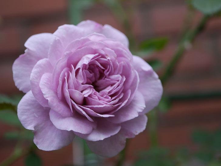 レイニーブルー(Rainy Blue)の2番花が咲いた。ツルバラ。2020年-020.jpg