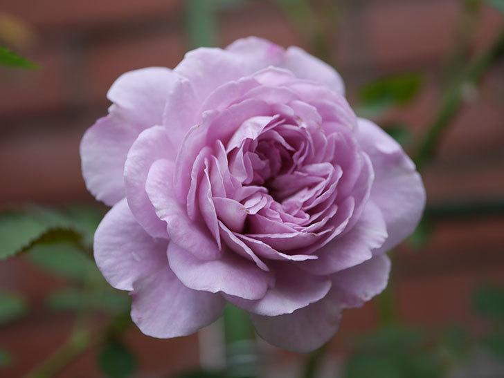 レイニーブルー(Rainy Blue)の2番花が咲いた。ツルバラ。2020年-021.jpg