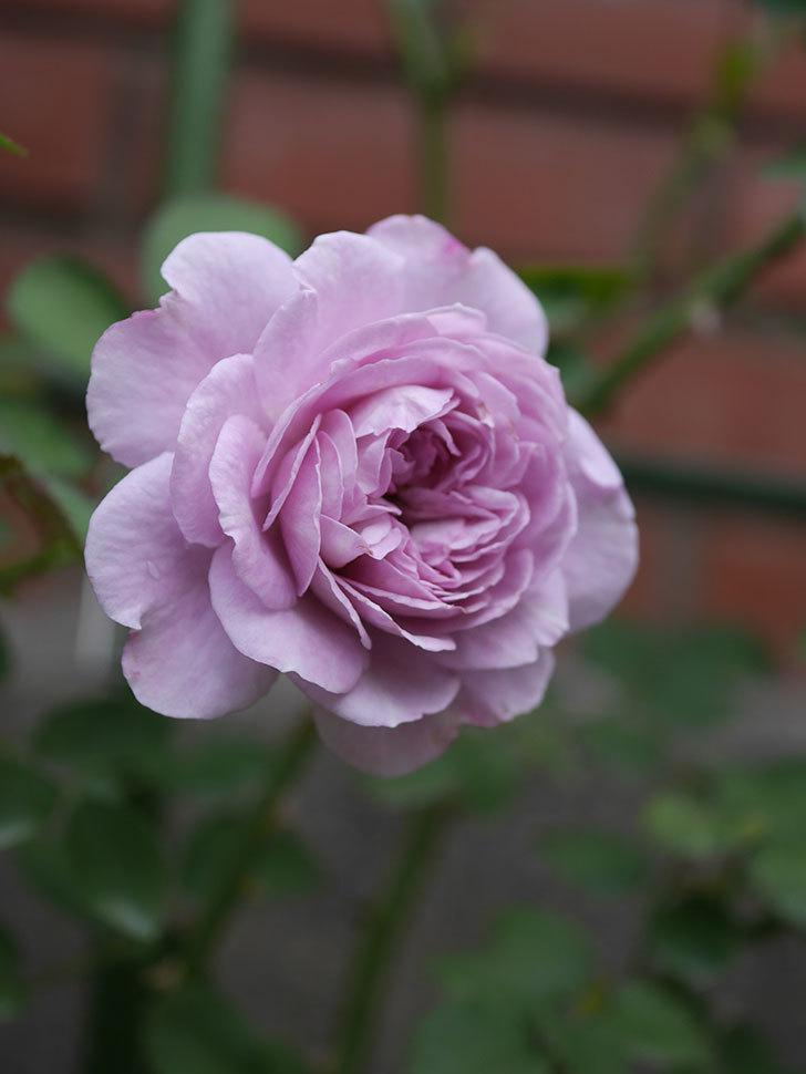 レイニーブルー(Rainy Blue)の2番花が咲いた。ツルバラ。2020年-022.jpg