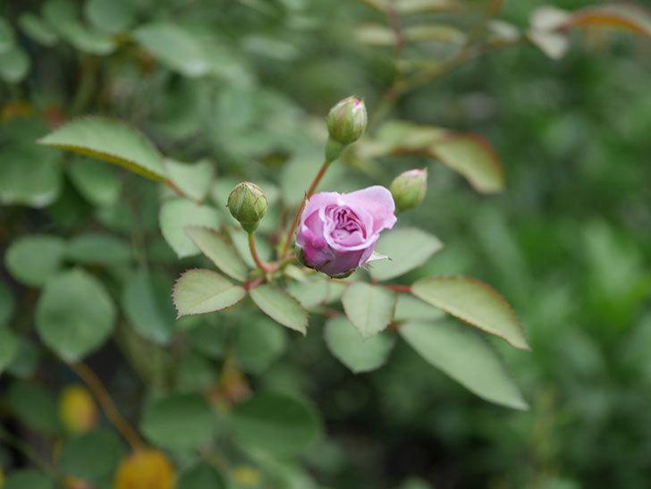 レイニーブルー(Rainy Blue)の2番花が咲いた。ツルバラ。2020年-023.jpg