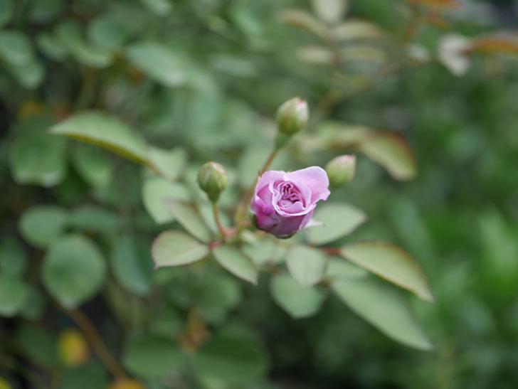 レイニーブルー(Rainy Blue)の2番花が咲いた。ツルバラ。2020年-024.jpg
