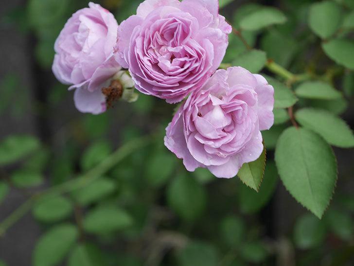 レイニーブルー(Rainy Blue)の2番花が増えてきた。ツルバラ。2020年-002.jpg