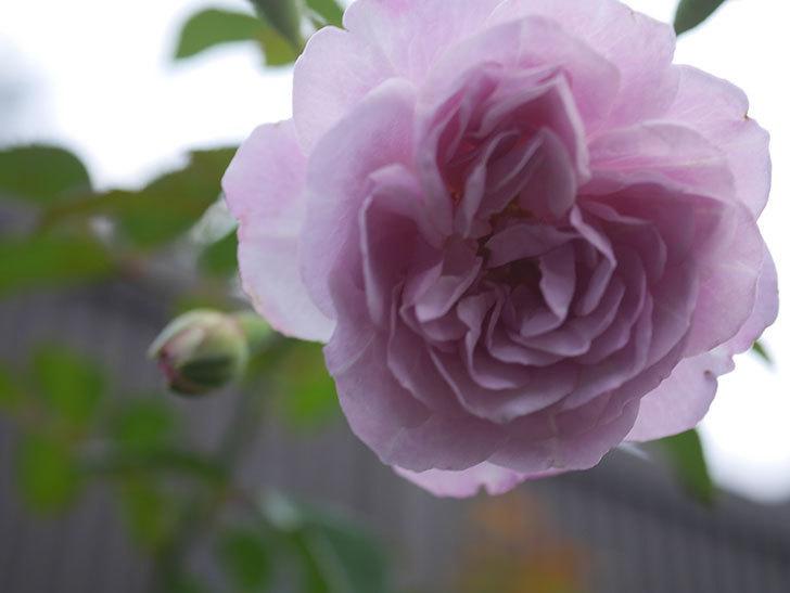 レイニーブルー(Rainy Blue)の2番花が増えてきた。ツルバラ。2020年-004.jpg