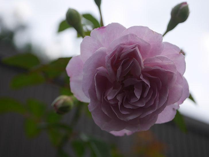 レイニーブルー(Rainy Blue)の2番花が増えてきた。ツルバラ。2020年-005.jpg