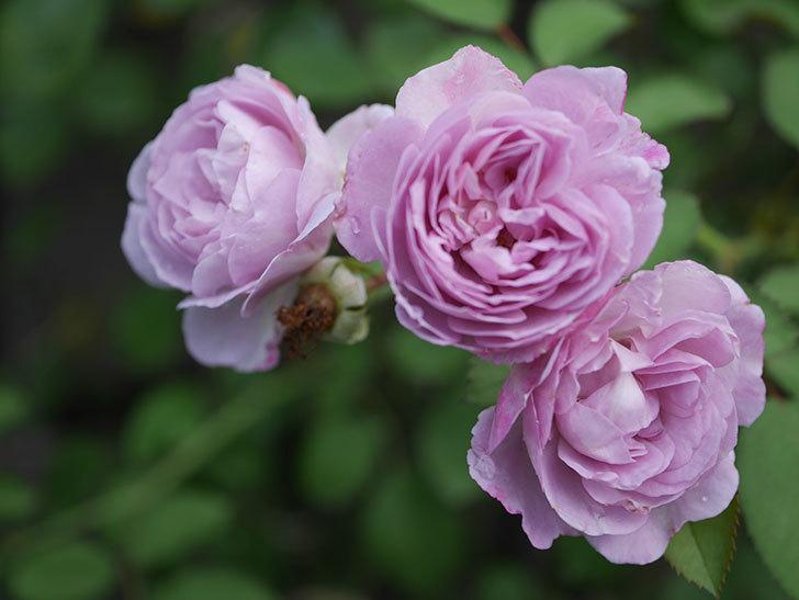 レイニーブルー(Rainy Blue)の2番花が増えてきた。ツルバラ。2020年-006.jpg