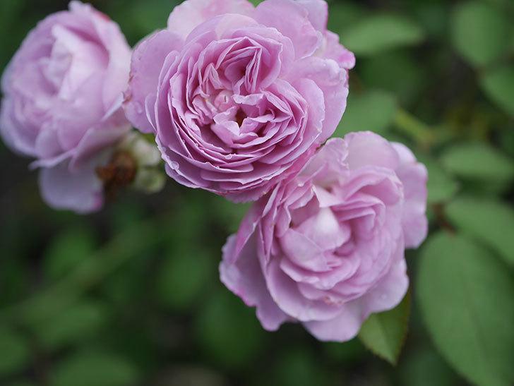レイニーブルー(Rainy Blue)の2番花が増えてきた。ツルバラ。2020年-007.jpg