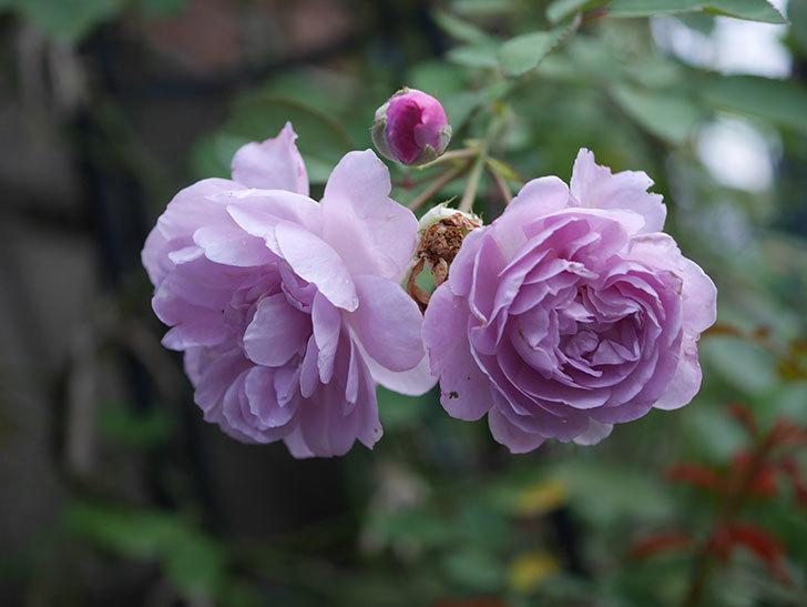 レイニーブルー(Rainy Blue)の2番花が増えてきた。ツルバラ。2020年-008.jpg