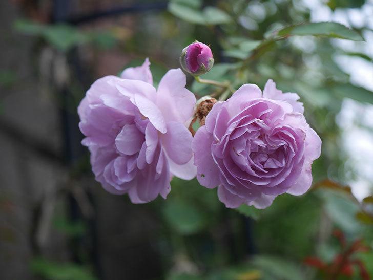 レイニーブルー(Rainy Blue)の2番花が増えてきた。ツルバラ。2020年-009.jpg