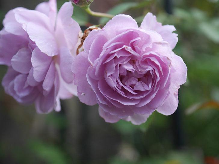 レイニーブルー(Rainy Blue)の2番花が増えてきた。ツルバラ。2020年-010.jpg