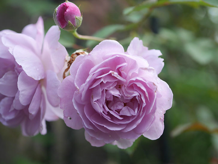 レイニーブルー(Rainy Blue)の2番花が増えてきた。ツルバラ。2020年-011.jpg