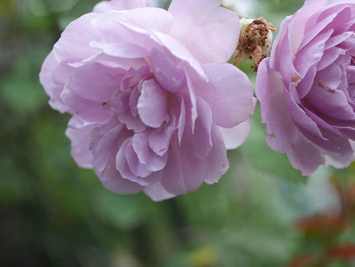 レイニーブルー(Rainy Blue)の2番花が増えてきた。ツルバラ。2020年-012.jpg