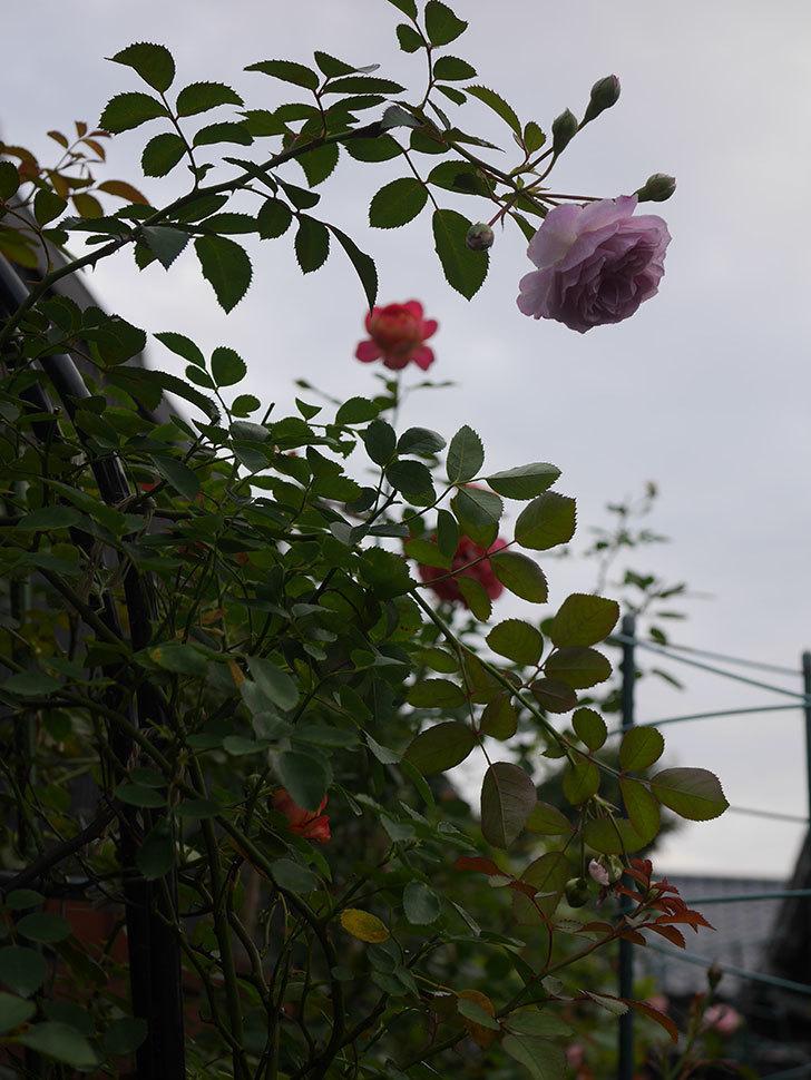 レイニーブルー(Rainy Blue)の2番花が増えてきた。ツルバラ。2020年-014.jpg