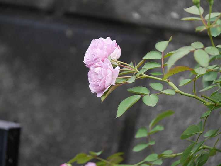 レイニーブルー(Rainy Blue)の2番花が増えてきた。ツルバラ。2020年-015.jpg