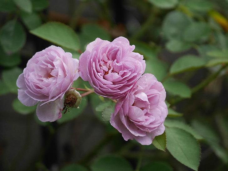 レイニーブルー(Rainy Blue)の2番花が増えてきた。ツルバラ。2020年-016.jpg