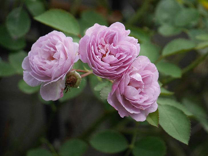 レイニーブルー(Rainy Blue)の2番花が増えてきた。ツルバラ。2020年-017.jpg