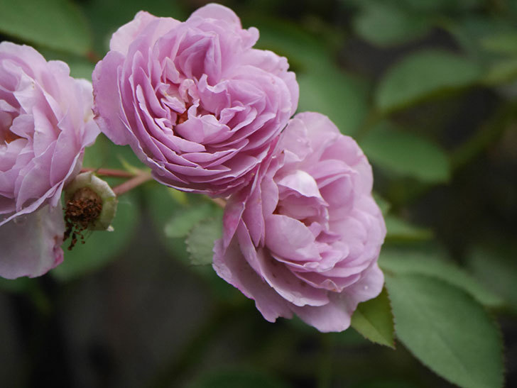レイニーブルー(Rainy Blue)の2番花が増えてきた。ツルバラ。2020年-018.jpg