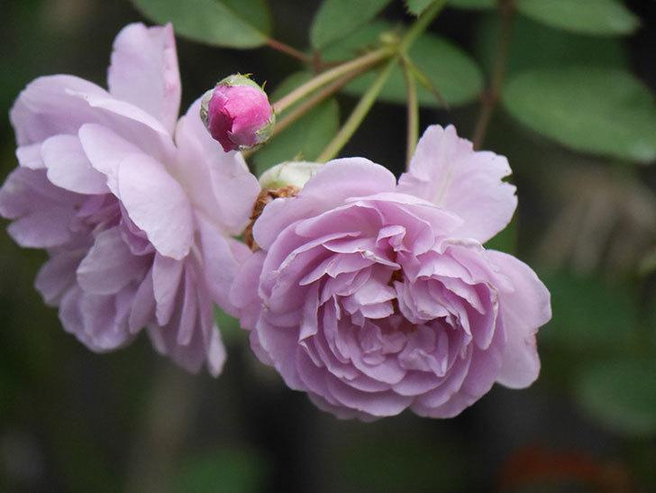 レイニーブルー(Rainy Blue)の2番花が増えてきた。ツルバラ。2020年-019.jpg