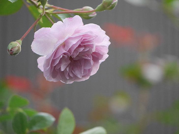 レイニーブルー(Rainy Blue)の2番花が増えてきた。ツルバラ。2020年-020.jpg