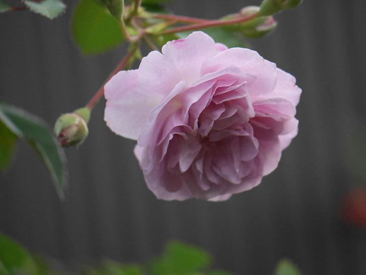 レイニーブルー(Rainy Blue)の2番花が増えてきた。ツルバラ。2020年-021.jpg