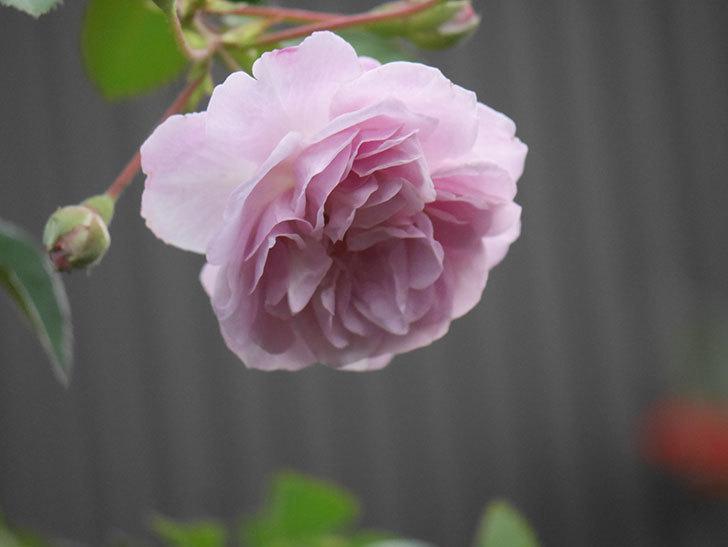 レイニーブルー(Rainy Blue)の2番花が増えてきた。ツルバラ。2020年-022.jpg