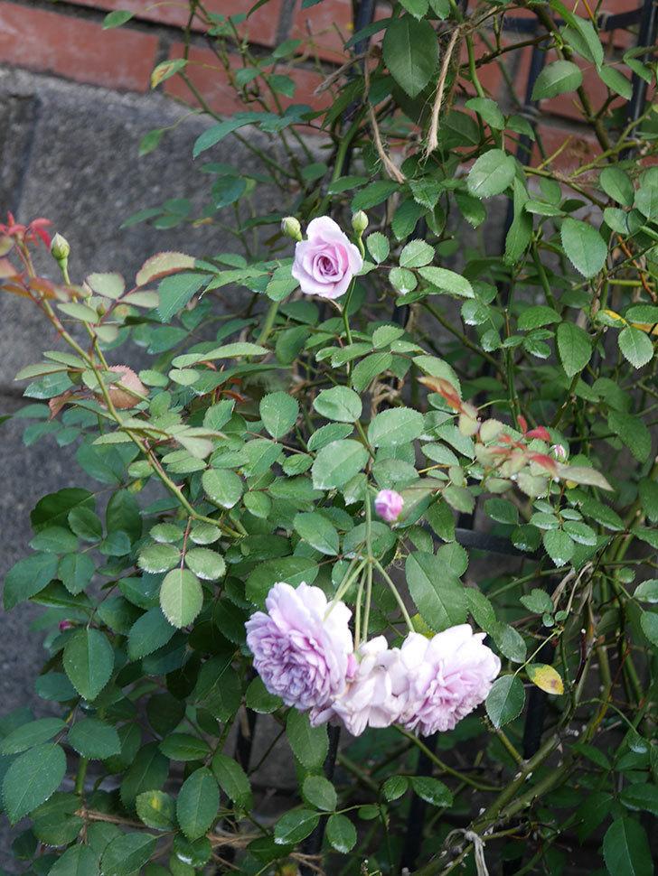レイニーブルー(Rainy Blue)の夏花が咲いた。ツルバラ。2020年-001.jpg