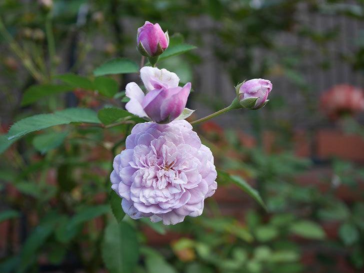 レイニーブルー(Rainy Blue)の夏花が咲いた。ツルバラ。2020年-002.jpg