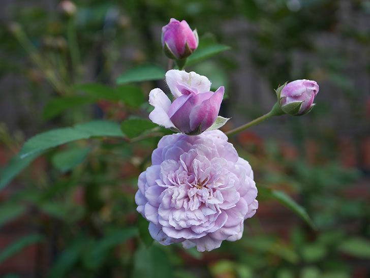 レイニーブルー(Rainy Blue)の夏花が咲いた。ツルバラ。2020年-003.jpg