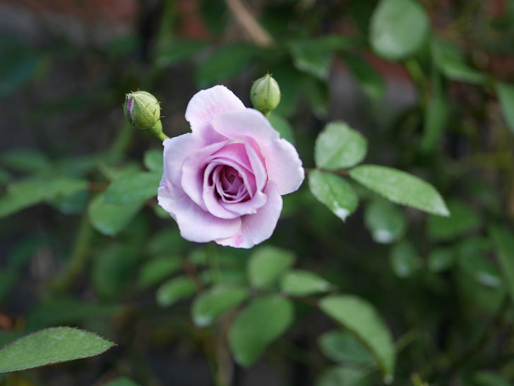 レイニーブルー(Rainy Blue)の夏花が咲いた。ツルバラ。2020年-004.jpg
