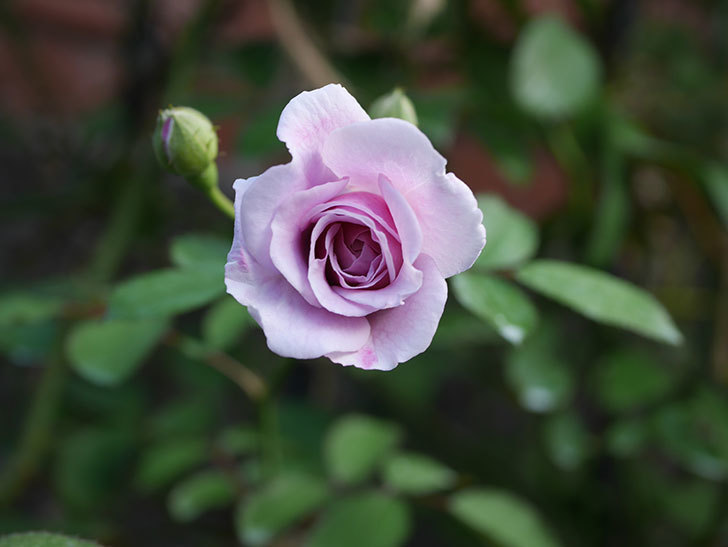 レイニーブルー(Rainy Blue)の夏花が咲いた。ツルバラ。2020年-005.jpg